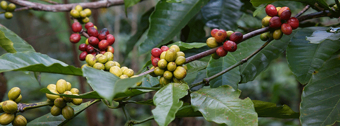 coffee-farming-in-kenya