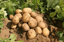 potato-farming
