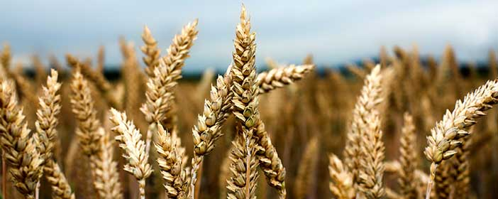 How can i buy shares or invest in wheat?
