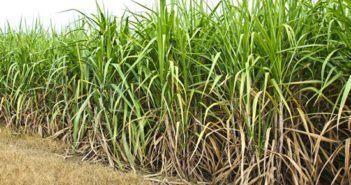 sugarcane-poaching