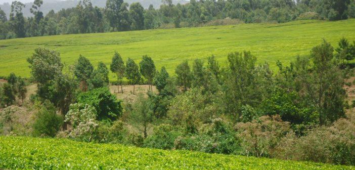 Mt Elgon Tea Estate