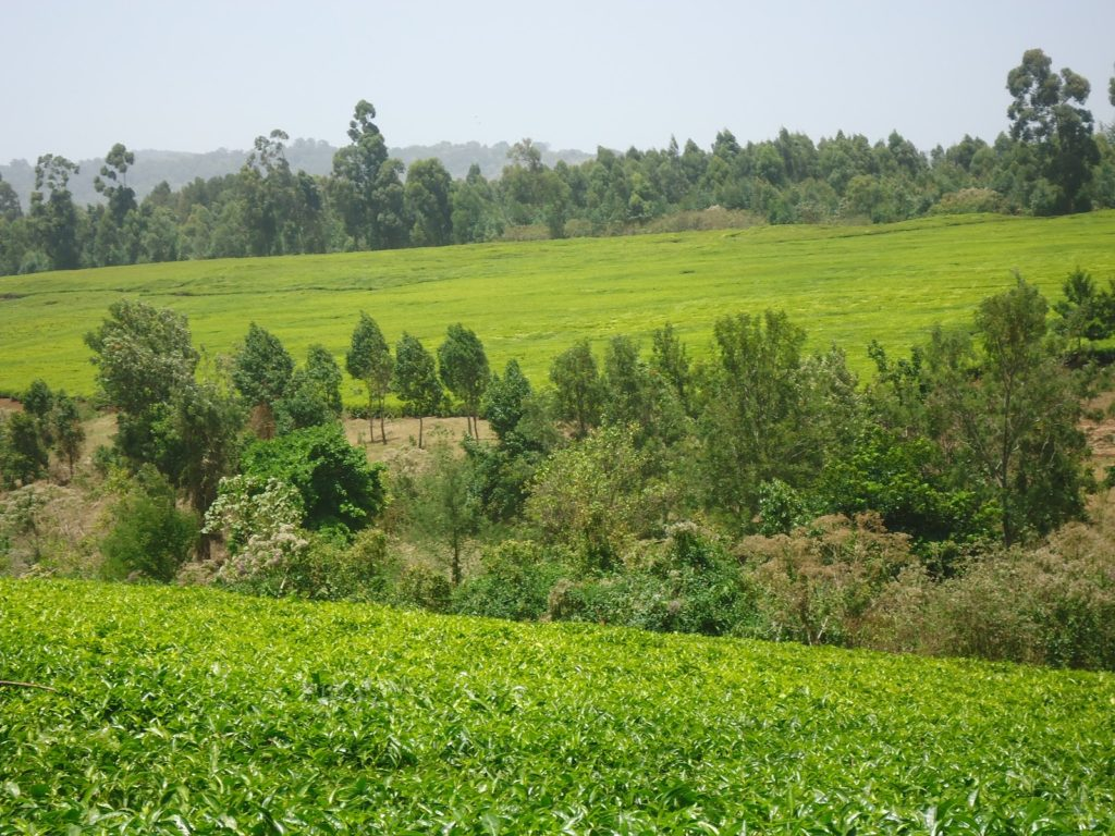 Kenya's Global Tea Exports drop by 17pc due to Reduced Markets