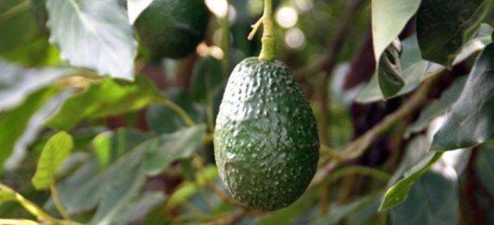 Kenya among Top Avocado Exporters in the World
