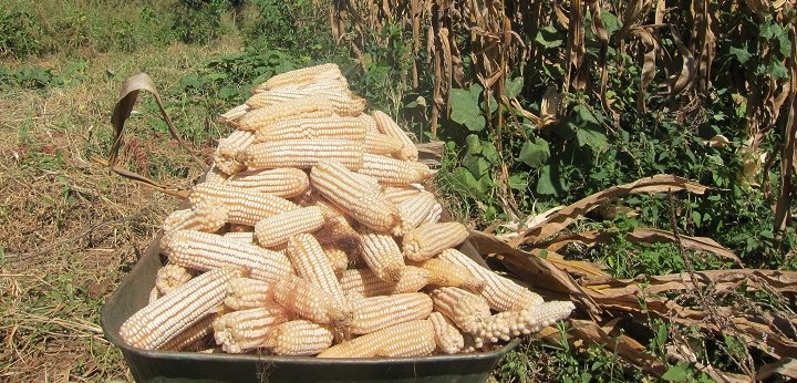 NCPB Buys 1.6 Million Bags of Maize from Farmers