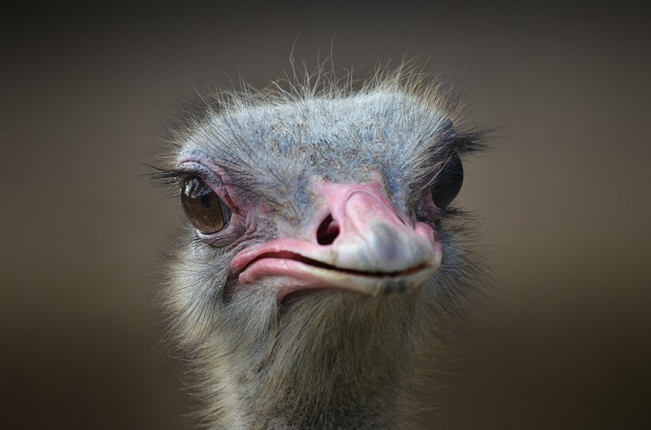 Did you know that ostriches have very strong kicks? It is said that one kick of an ostrich can kill a lion.