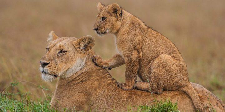 Lions KWS