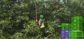 avocado exports