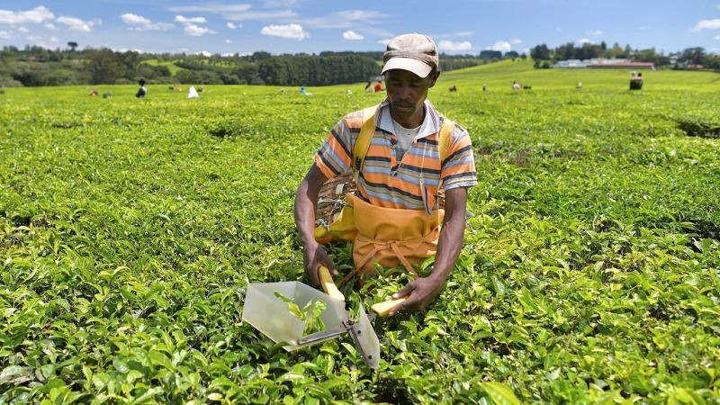 Tea exports